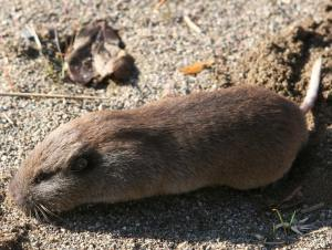 pocket gopher 1